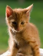 Orange Domestic Shorthair kitten