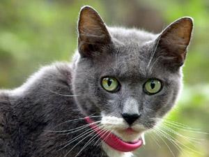 adrightGray cat