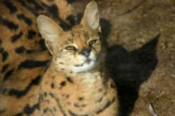 The African Serval cat.