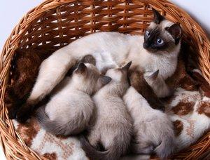 Siamese queen and litter