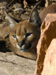 An exotic Caracal cat