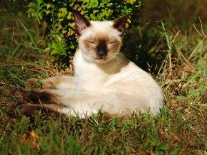 Siamese_in_the_grass.jpg