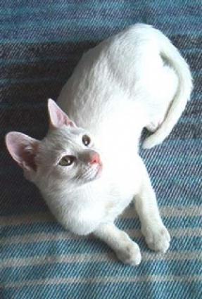 Image of a white cat on a blue blanket