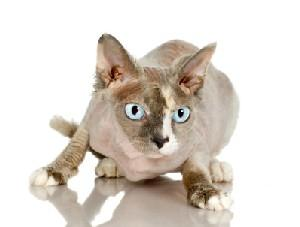 Photo of a hairless cat