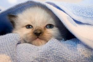 Siamese kitten wrapped in a blue blanket