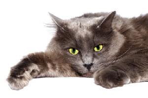 Sluggish looking gray cat