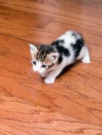 Yound Manx kitten