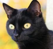 Image of a golden-eyed black cat
