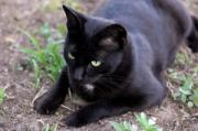 Black cat crouching on the ground