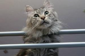 Long-haired gray cat at a boarding facility