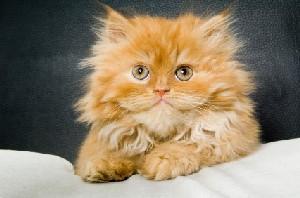 Long-haired orange tabby kitten