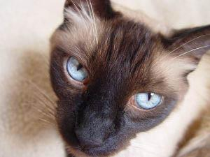 Siamese Cats Aristocats Names