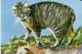 Illustration of a Manx cat