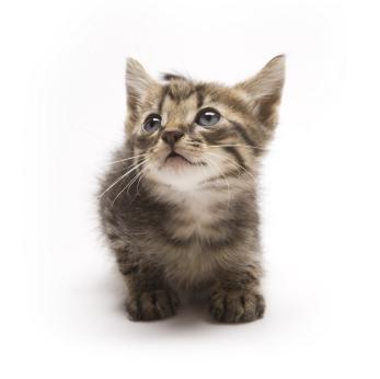 Image of a gray tabby munchkin kitten