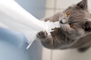Gray cat shredding bathroom toilet paper