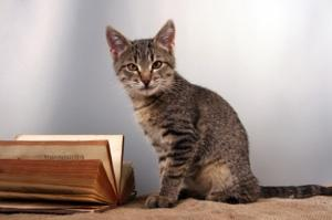 Young tiger tabby cat looking at a book