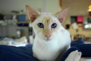 white and yellow siamese cat