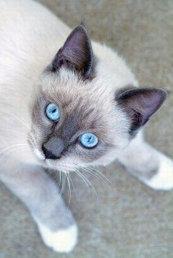 Facts About Snowshoe Siamese Cats Susan Dorling By Susan Dorling 4 Snowshoe Siamese