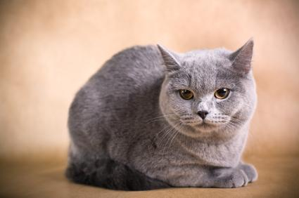 A gray British Shorthair cat.