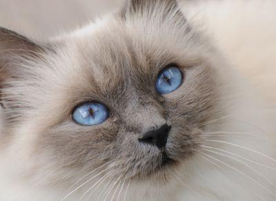 Image of a blue-point Birman cat