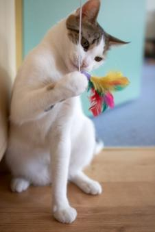 A cat playing with a fishing pole toy
