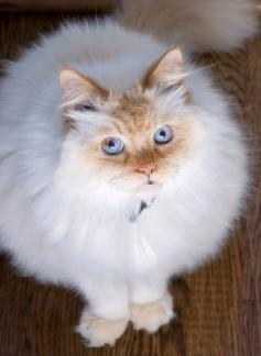 Adult flame-point Himalayan cat