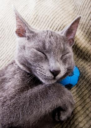 Image of a Russian Blue cat sleeping