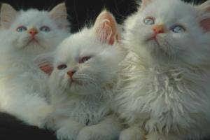 Three kittens with undeveloped flame points