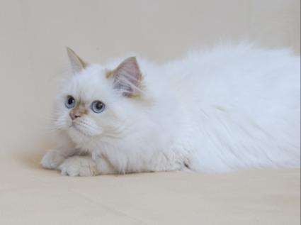 Image of a flame-point Himalayan