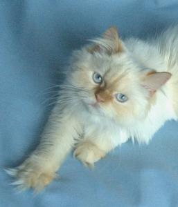 Photo of a flame-point Himalayan
