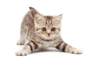 A cute tabby kitten