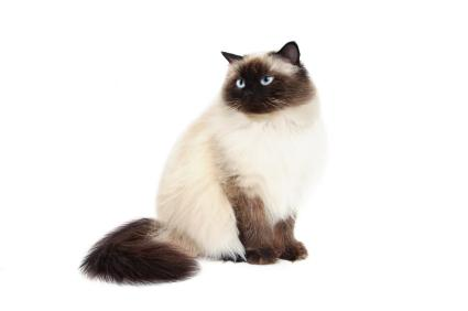 Cats Look Like Siamese