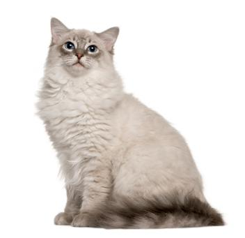 cat for sale persian
