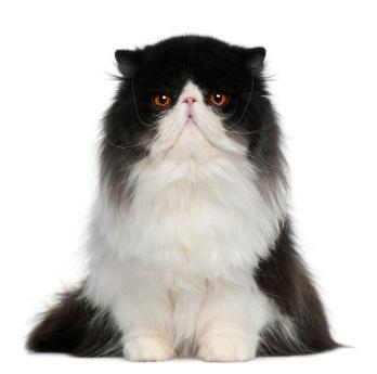 Black and white Persian cat