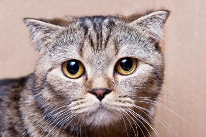 Tabby Cat Pictures Of Different Breeds Lovetoknow