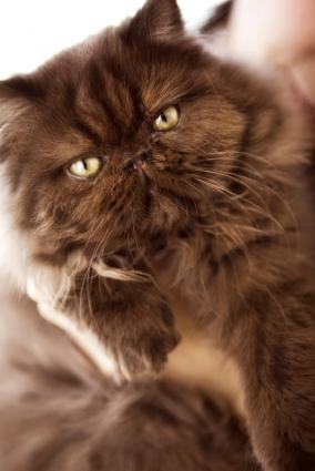 Adorable Images Of Chocolate Persian Kittens Lovetoknow