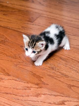 cute manx cat images lovetoknow