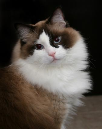 Ragdoll Cat Photos To Make You Need A Huggable Kitty