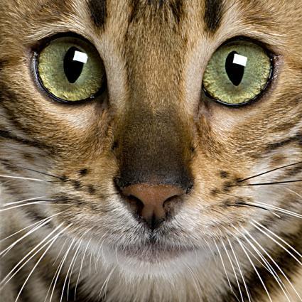 Stunning Bengal Cat Photos Lovetoknow