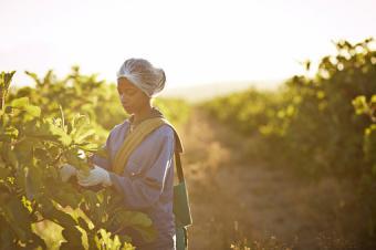 picking figs at fruit farm