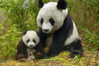 Panda With Cub In Field