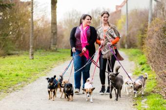 Dog walkers walking dogs