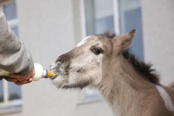 Volunteer feeding orphaned foal