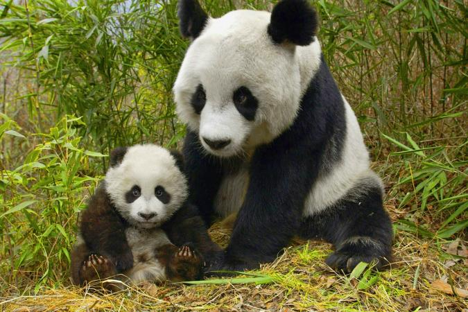 Panda With Cub In Field