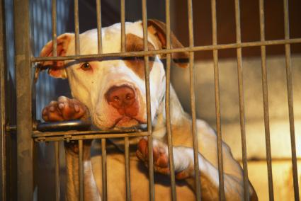 Pit bull in cage at animal shelter