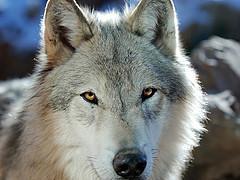 Kids Wolf Stories