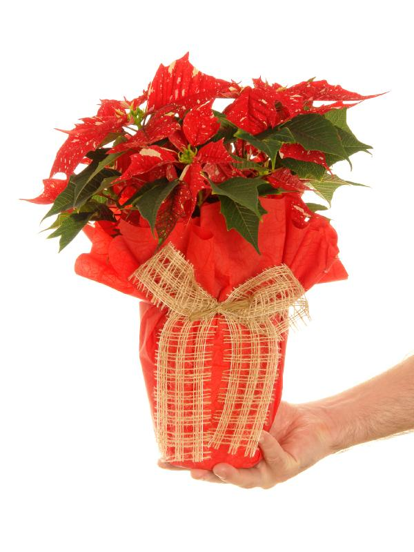 https://cf.ltkcdn.net/christmas/images/slide/164633-600x800-PoinsettiaGift.jpg