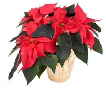 https://cf.ltkcdn.net/christmas/images/slide/109-686x565r1-Poinsettia-i.jpg