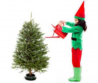 Watering Christmas tree with sugar water