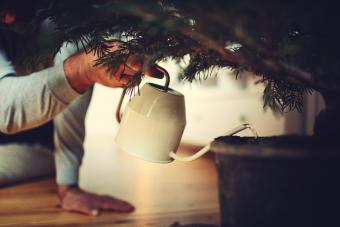 Hands water a potted Christmas tree